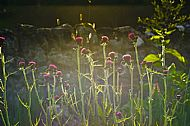 Cirsium atropurpureum in evening light