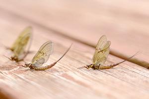 craggie mayfly