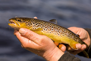 loch ailsh brown trout