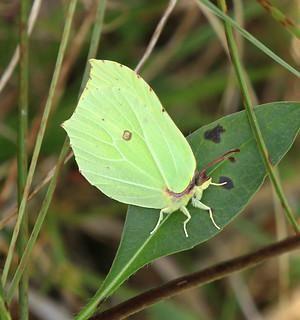 brimstone adult, leaf-like