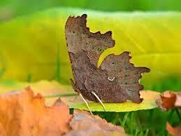 comma adult, leaf-like