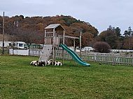 Sheep in the playpark at winter time