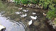 The ducks at the Crown inn