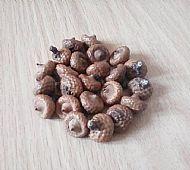 Hungarian Acorns