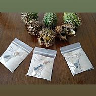 Datura Seed Vial (10)