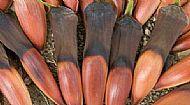 7 x Freshly Gathered Monkey Puzzle Seeds/Nuts, Sept 2020