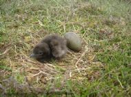 Acrtic Skua breeding population