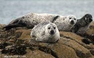 Common Seals (Phoca vitulina)
