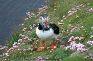 Atlantic Puffin, Fratercula arctica, with sandeels