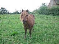 one of the Shetland ponies