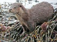 Otter Cub Loch Sunart