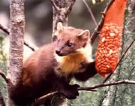 Pine Martin taken from the site