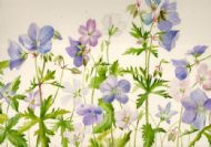 Geraniums Blue and Pink