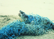 Grey Seal entangled in Fishing Net