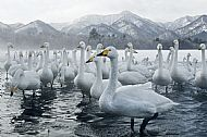 Best Wildlife Image<br>Whooper Swan