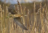 Top Nature Image<br>Bittern