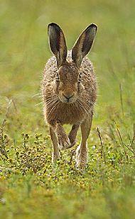Mark Hamblin Award<br>European Brown Hare