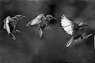 Juvenile Starling Triptych