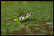 Grass Snake Swimming in Pond