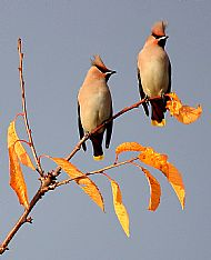 Waxwings by Keith Barnes