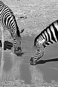 Burchell's Zebras at the Waterhole by Keith Barnes