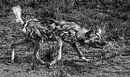 African Painted Dog Stalking Prey by Mark Janes