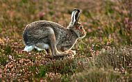Running Mountain Hare by Jo McIntyre