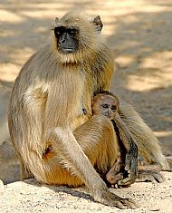 Langur Monkey and Baby by Sander Macdonald