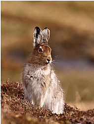 Mountain Hare by James Moore