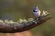 Crested Tit by Russell Turner