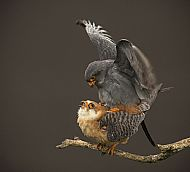 Robert Fulton Award<br>Red-Footed Falcons Mating