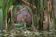 Roy Robertson Award<br>Water Vole In Habitat