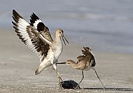 Top Nature Image<br>Willet Dispute