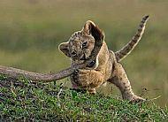 Lion Cub at Play