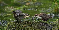 Nature, Gold Medal<br>Dipper Feeding Juvenile