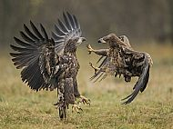 Nature, Gold Medal<br>Squabbling White-Tailed Eagles