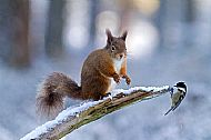 Red Squirrel and Coal Tit