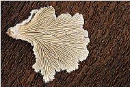 Bracket fungus on bark