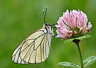 Black-veined white roosting on clover