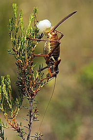 Female ephippiger with spermatophore