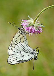 Mating black-veined whites