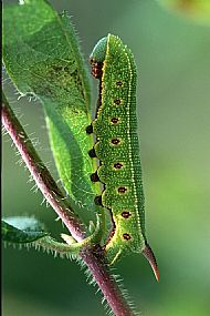 Bee Hawk Moth Larva