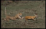 Cheetah in Pursuit of Gazelle