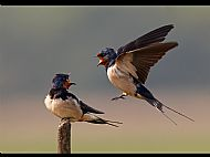Top Image<br>Swallows Shouting