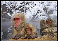 Ken Crossan Award<br>Snow Monkeys in Hot Pool
