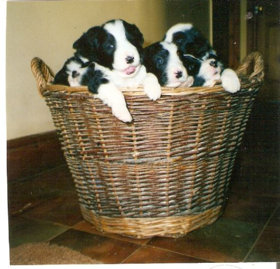 brighde's three- week- old litter by butler's don.
