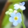 Field Forget-me-not (A)