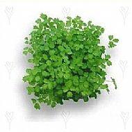 Burnet Salad (P)