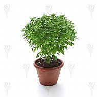 Basil, Bush (A)