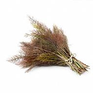 Bronze Fennel (P)